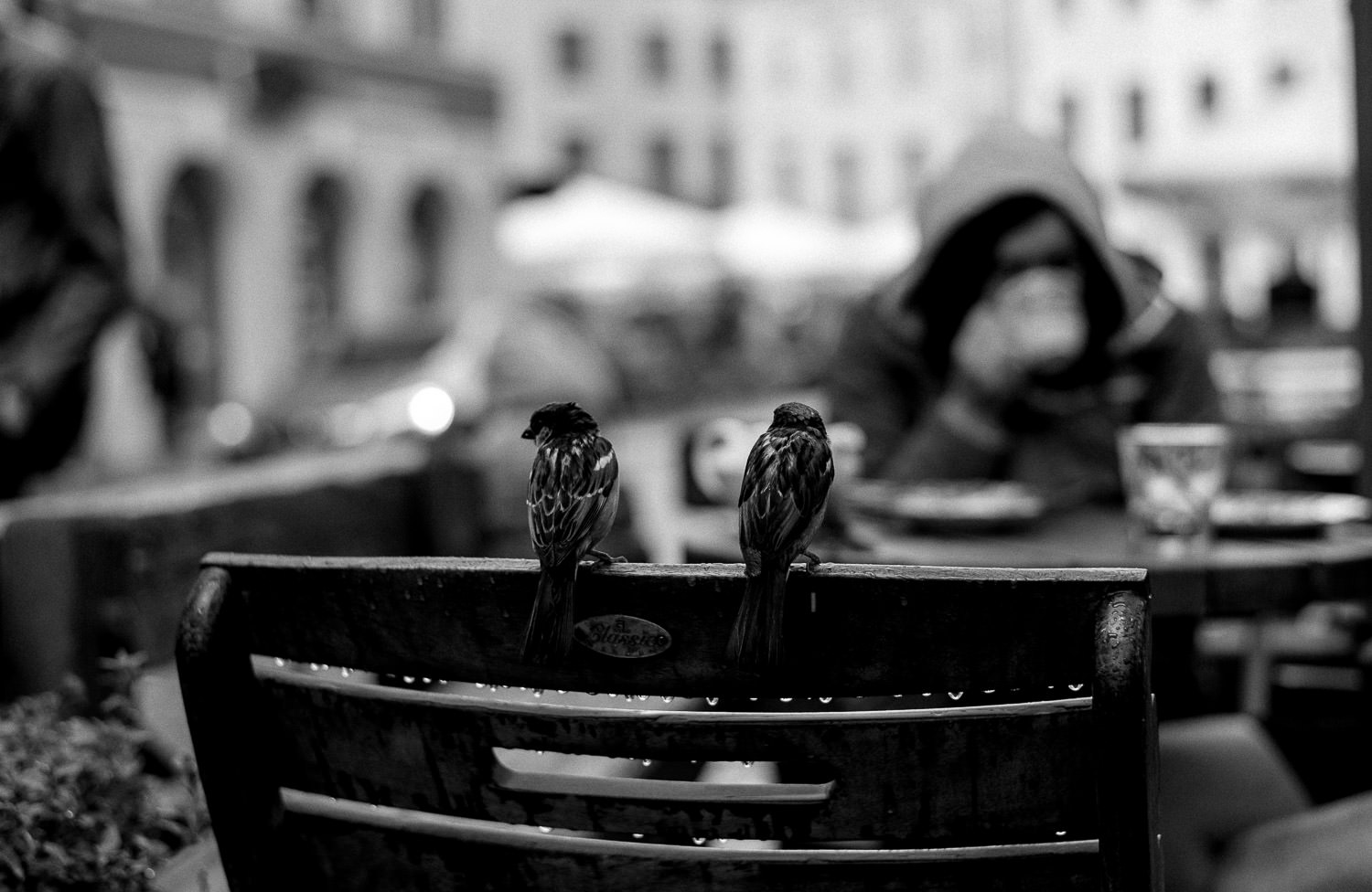 Sparrows, Riga